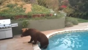 Black bear takes a dip in backyard pool