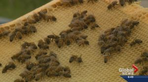 Unusual theft of thousands of bees leaves Alberta farmer distraught