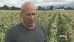 Chilliwack corn farmer fights natural gas pipeline