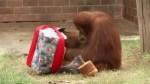Animals at a zoo in Rio de Janeiro receive Christmas treats