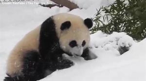 Toronto Zoo panda bear enjoys the winter weather