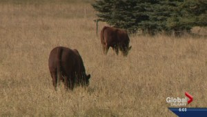 Cattle ranchers hope Trade Deal will mean more business