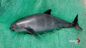 Vancouver Aquarium joins effort to save a porpoise species from extinction