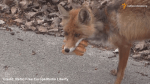 Fox in Chernobyl exclusion zone makes a sandwich