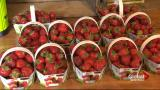 Quebec's strawberry farms hit hard