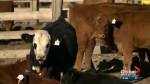 Sask. scientists start next phase in developing world's first bovine TB vaccine