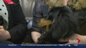 Rescued dachshunds recovering at Saskatoon SPCA