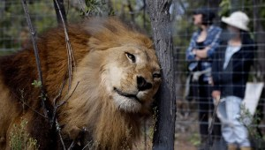 33 Lions rescued from abusive circuses arrive in South African big cat sanctuary