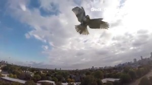 Caught on Tape: Hawk attacks drone and wins