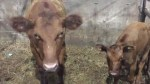 Cows on the lam found safe and sound in neighbour's field