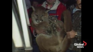 Archive: Cougar surprises guests at Empress Hotel