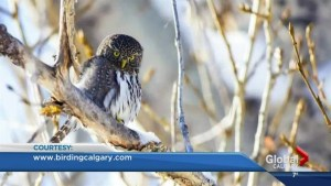 Northern Pygmy Owls spotted in Fish Creek park