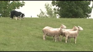 In this weeks Your City we look forward to the Annual Sheep Dog Trials in Kingston.