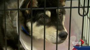 SPCA investigates severe case of animal neglect in Milk River