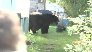 One big bear in Port Coquitlam