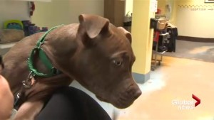 Montreal pit bull registration deadline