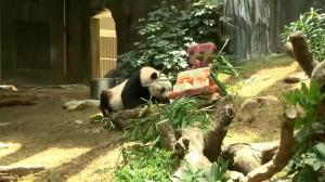 World's oldest panda celebrates birthday in style