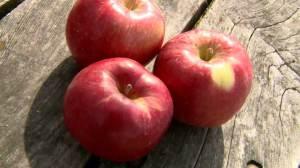 Honeycrisp creators develop new apple, hope it's just as popular