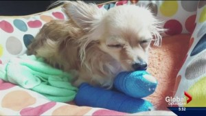 Chihuahua dropped at Kelowna dog daycare breaks both front legs