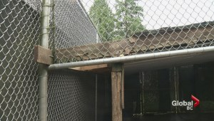 Bear break-out; hunt is on for baby bruin who makes getaway from Langley facility