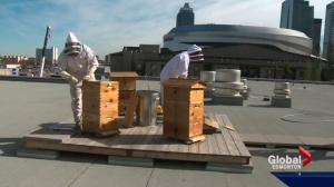 Urban beekeeping on the rise in Edmonton
