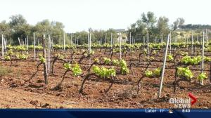 Edmonton wine guy Gurvinder Bhatia talks about Sicilian wine