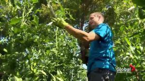 New urban twist to Saskatchewan's old tradition of farming