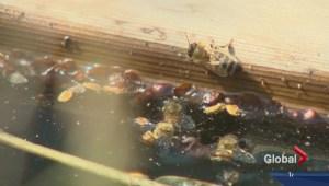 Buzzing about urban beekeeping in Saskatoon