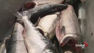24 hour sockeye salmon opening