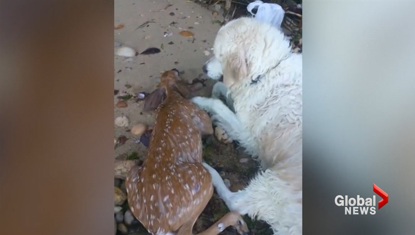 Video shows dog rescue struggling baby deer from drowning