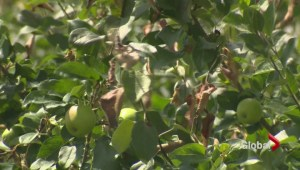 Apple growers tackle blight in Annapolis Valley