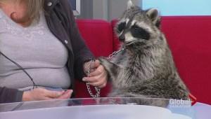 Dennis the Raccoon