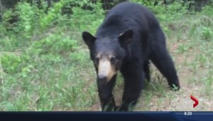 Alberta men chased by black bear