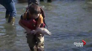Kids help scientist study salmon on the Harrison River