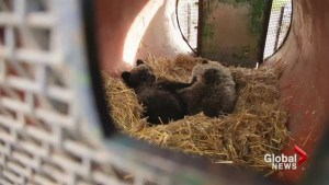 Thanksgiving grizzly bear cub rescue