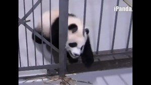Footage shows adorable pandas squeezing through iron bars to escape cell