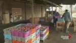 B.C. food banks cut ties to Surrey farmer