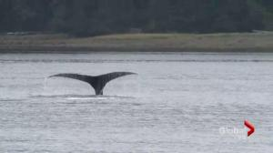 Haida Gwaii researchers eavesdropping on whales