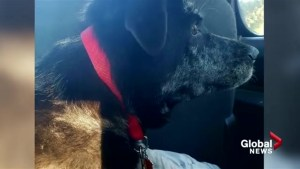 Charges pending after dog dragged behind car on Alberta highway