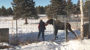 Orphaned moose among animals calling Cochrane Ecological Institute home this winter