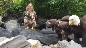 Close up encounter of eagles feasting on fish in northern B.C.