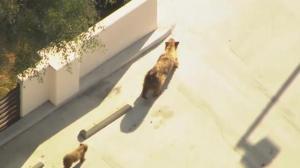 Raw video: Mother, baby bear wander streets of Pasadena