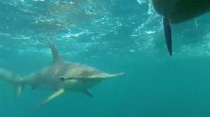 Hammerhead shark stalks kayakers for two miles in Florida