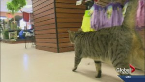 Stolen Kelowna cat turns up in Ashcroft