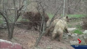 Bears shot in Summerland