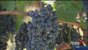 Federal money funds BC grape and wine research