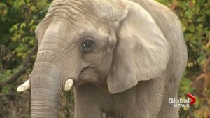 Animal advocates campaign to remove elephants from Toronto zoo