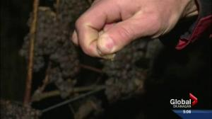 Ice wine harvest underway