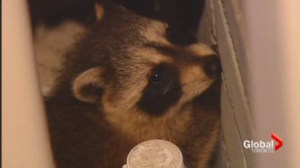 Raccoons raise safety concerns in east-end neighbourhood