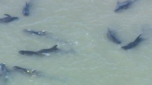 Raw: Large pod of whales beached in Florida Everglades